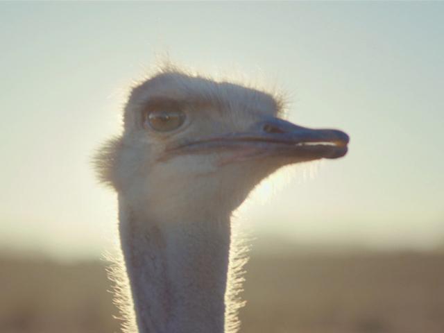 Samsung, Ostrich Thumbnail