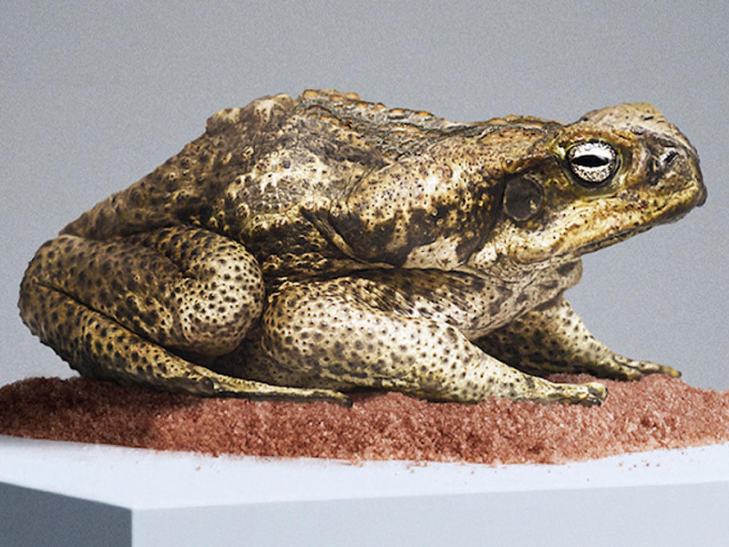 Foreign Objects - Rhinella Marina (Cane Toad) Thumbnail