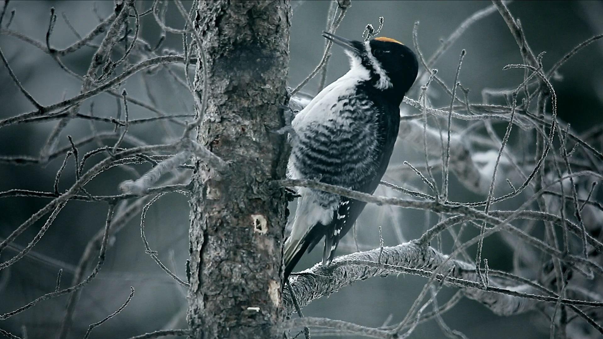 Thumbnail for Woodpecker